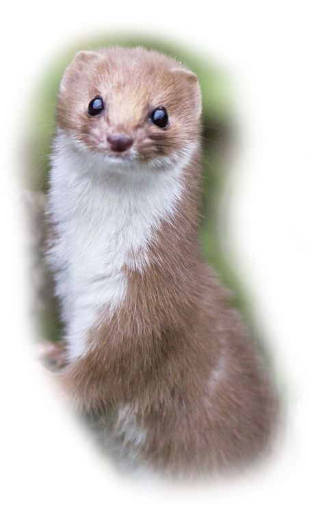 The Wise Weasel